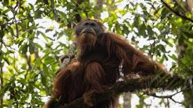 Spesies Orangutan Baru Ditemukan di Indonesia, Primata Terlangka di Dunia