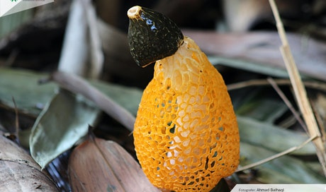 Jamur Tudung Pengantin, Jamur Cantik yang Tumbuh di Indonesia