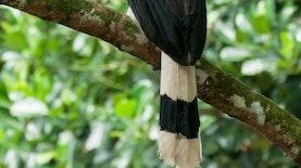 Spesies Burung Rangkong Terbesar Asia Ada di Indonesia