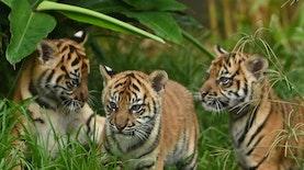 Upaya Selamatkan Harimau Sumatera dari Kepunahan oleh Berbak Sembilang