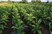 Tak Hanya Rokok, Kini Tembakau Bisa Jadi Pestisida yang Efektif