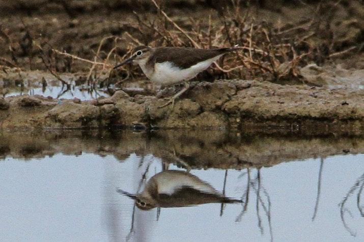 Pulihkan Mangrove di Pesisir Lamongan, Burung-burung Datang Kembali