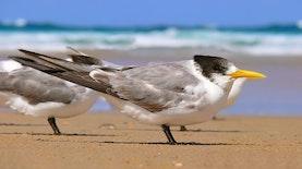 Terpantau di Pulau Seram, Akankah Dua Burung Langka Dunia Ini Bermigrasi ke Indonesia?