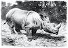 Menjaga Situs Warisan Dunia yang Ada Badaknya, Juga Bunga Rafflesia
