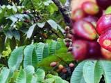 Gambar sampul Beraromakan Durian dan Memiliki Rasa Seperti Lengkeng, Buah Apakah Itu?