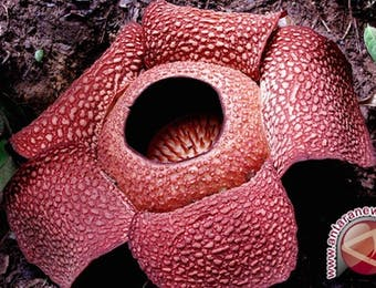 Wah, Dua Rafflesia gadutensis Mekar di Bengkulu Utara!