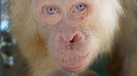 Berambut Pirang dan Bermata Biru, Orangutan Langka Ditemukan di Hutan Kalimantan