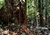 Kisah Pelepasliaran 4 Individu Orangutan di Kalbar