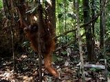 Gambar sampul Kisah Pelepasliaran 4 Individu Orangutan di Kalbar