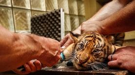 Populasi Harimau Sumatera Bertambah Dengan Kelahiran 2 Bayi Harimau Ini