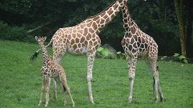 Taman Safari Prigen Kedatangan Penghuni Baru
