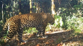 10 Individu Hewan Endemik Terancam Punah Tertangkap Perangkap Kamera