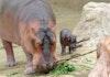 Batu Secret Zoo Sambut Kelahiran Bayi Kuda Nil