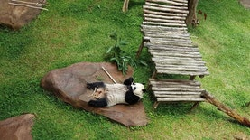 Kehadiran Panda Raksasa Buktikan Taman Safari Lembaga Konservasi Satwa