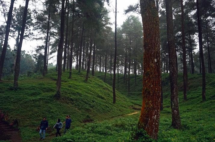 Menikmati Sejuknya Hutan Pinus Limpakuwus