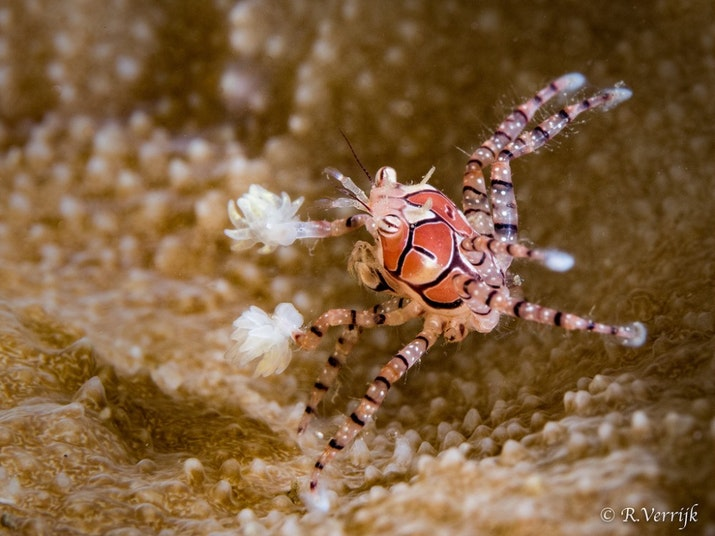 Boxer Crab, Si Petinju Mungil Perairan Nusantara