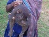 Gambar sampul Jenis Tikus Raksasa Ini Masih Ada dan Hidup di Rimba Flores