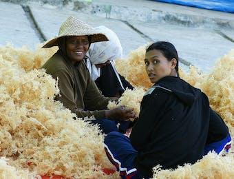 Ternyata 50 Persen Lebih Kebutuhan Rumput Laut Dunia Dipasok dari Indonesia