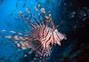 Melihat Indahnya Lion Fish di Bolaang Mongondow Timur