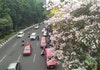 Walikota Risma akan menambah Bunga 'Sakura' di Surabaya, Ada Warna Ungu!