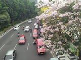 Gambar sampul Tabebuya Akan Menghiasi Kota Semarang. Kapan?