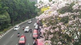 Tabebuya Akan Menghiasi Kota Semarang. Kapan?