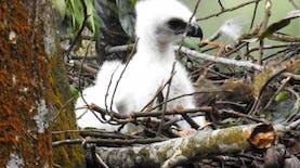 'Penguasa Langit Jawa' Menetas di Taman Nasional Gunung Gede Pangrango