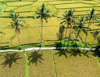 Inilah Pertanian Padi Paling Efisien di Nusantara, dan Tantangannya Kini