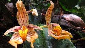 Tumbuhan-tumbuhan Tak Biasa dari Batang Toru