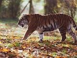 Rampog, Duel Harimau sebagai Lambang Penumpasan Kolonial