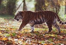 Rampog : Duel Harimau sebagai Lambang Penumpasan Kolonial