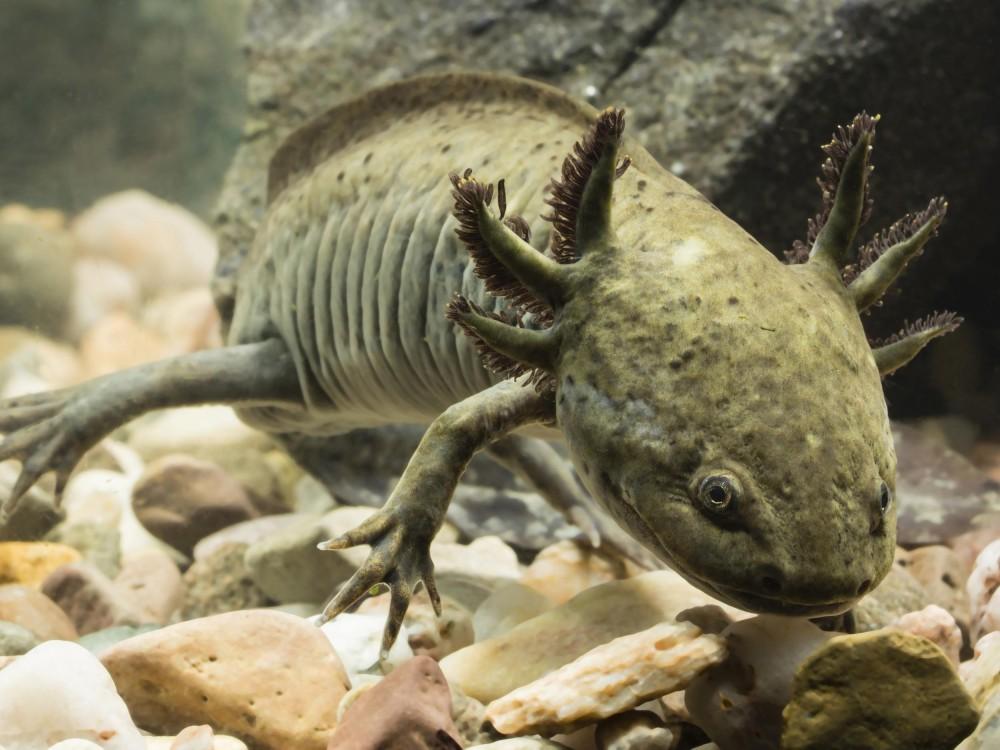 5600 Contoh Gambar Hewan Salamander HD Terbaik