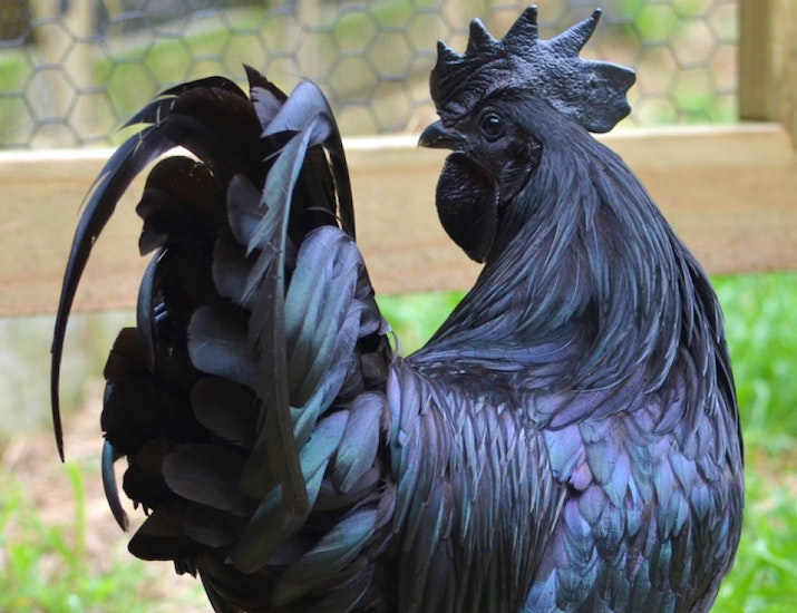 Ayam Cemani: A Rare Chicken Breed That is Black Inside Out