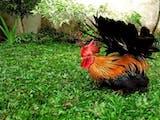 Gambar sampul Kate, Ayam Hias Asal Indonesia