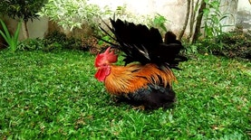 Kate, Ayam Hias Asal Indonesia