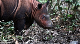 Gairah Kalimantan Timur Menjadi Provinsi Konservasi Badak