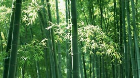 Ditemukan di Indonesia, Spesis Bambu Baru Berwarna Keunguan