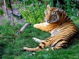 Gambar sampul Makhluk Mitologi Cindaku, Manusia Harimau Penjaga Hutan Kerinci Jambi