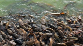 5 Jenis Ikan Lele yang Bisa di Budidayakan di Indonesia