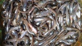 Ternak lele bisa lebih cepat dengan alat perangsang pertumbuhan ikan  karya mahasiswa UNAIR