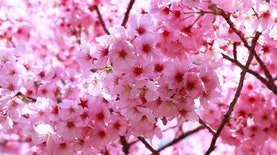 Hutan Lindung Tawangmangu Jawa Tengah Akan Punya Taman Sakura