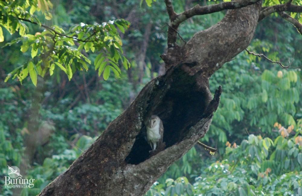 Belajar Ekologi Dari Beras Merah Dan Burung Hantu Di Dusun Pagi