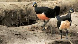 Burung Khas Indonesia ini Ternyata Masih Banyak Menyimpan Misteri