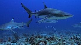 Shark Diving, Memadukan Pariwisata Selam dan Penelitian Hiu di Morotai