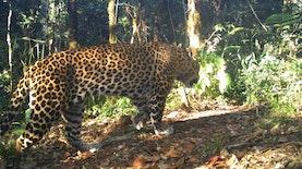 10 Ekor Macan Tutul Jawa Terdeteksi di Guntur Papandayan