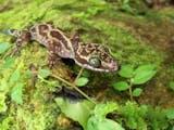 LIPI Temukan Spesies Baru Cicak Berpola Seperti Batik, Seperti Apa Wujudnya?