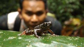 Jenis Baru Kodok yang Buktikan Indonesia Kaya Ragam Hayati