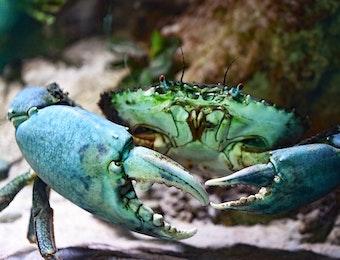 Si Cantik dan Unik Kepiting Perenang, Rajungan