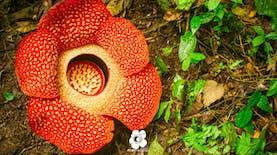 Beberapa Jenis Rafflesia di Indonesia