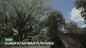 Pesona Hutan Trembesi Djawatan Banyuwangi